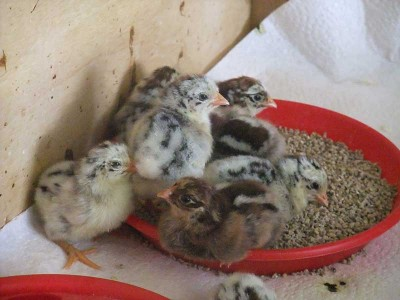 Hamburgh  Chicks hatched in March 2013