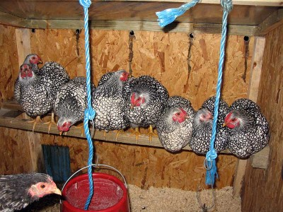 Silver Laced Wyandottes Roosting