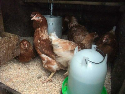 New Lohmann Brown Hens